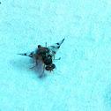 Mediterranean fruit fly or medfly/Mosca de la fruta,