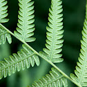 Common bracken fern