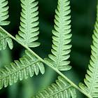 Common bracken fern