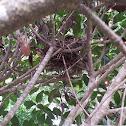 Eastern mourning Dove nest