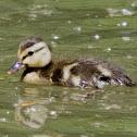 Mallard Duck (Juveniles)