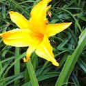 Dwarf day lily,