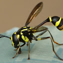 Wasp mimicking fly, Conopid fly