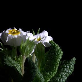 by Sasa Bogunovic - Flowers Single Flower