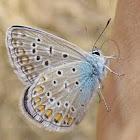 Common Blue - Hauhechel-Bläuling