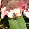 Rhododendron with honey bee