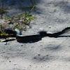 Eastern Black Racer Snake