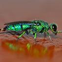 Emerald Cuckoo Wasp