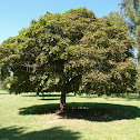 Globe Norway maple