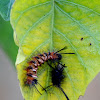 Tussock Moths