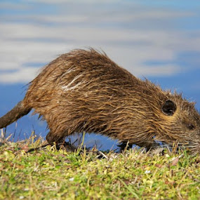 Baby Nutria rat by Angela Wescovich - Animals Other (  )