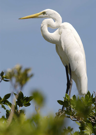 A great-white heron in Key Largo, Florida.