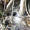 Grass Spider (web)