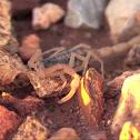 Striped Scorpion