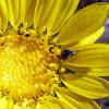 Bean Weevils