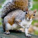 Eastern gray squirrel / Ardilla Gris