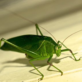 Green all the way! by Seema Nair - Animals Insects & Spiders (  )