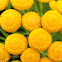 Tansy Flower