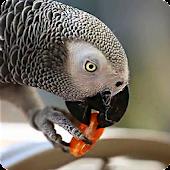 Parrot like Mandarin LiveWP