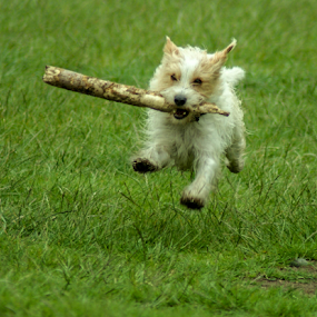 Happy playing dog by Veronika Gallova - Animals - Dogs Playing ( spectacular, stick, jumping, joy, dog in grass, dog portrait, exercise, vibrant, cute, running, playing, dog running, fit, flying, free, happy, action, dog jumping, motion, trained, little dog, smile, cheerful, catching, small dog, activity, animal, speed, dog in the air, funny, play, sport, excited, friendly, fun, mammal, jump, pet, outdoors, outdoor, active, healthy, view, fast, dog, energy, athletic, #GARYFONGPETS, #SHOWUSYOURPETS,  )