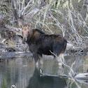 Moose (female)