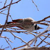 Northern Flicker (Red Shafted)