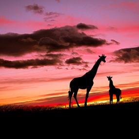 Žirafe kod Obrovca by Srbx  Cicapo - Instagram & Mobile Android ( dalmacija, bukovica, kistanje, obrovac, bilisani )