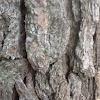 Loblolly pine
