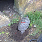 Red Eared Slider laying eggs