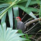 Velasquez's Woodpecker