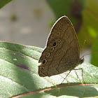 Butterfly on firebush