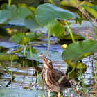 Green Heron (Fledgling)