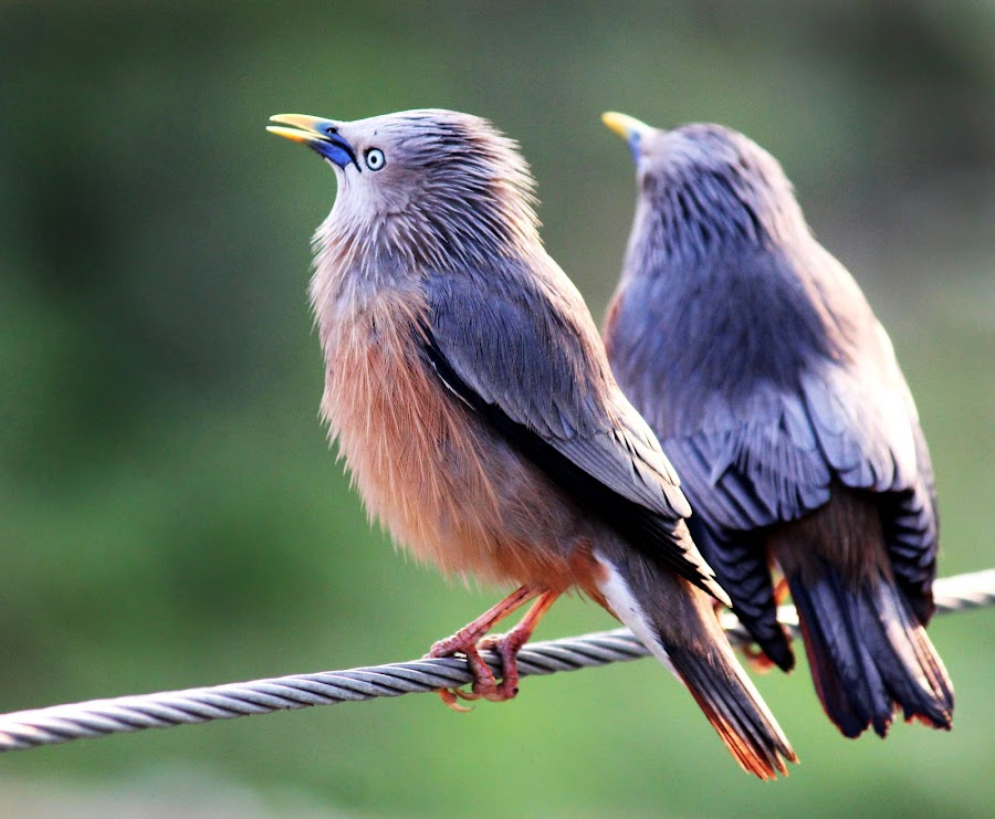 A cute couple by Mrinmoy Ghosh - Animals Birds (  )