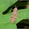 Grasshopper (Nymph)