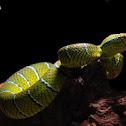 Pit viper