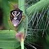 Mormidea Stinkbug