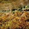 Cystoseira mediterránea (alga parda)