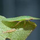 Flat bug