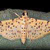 Yellow Peach Moth