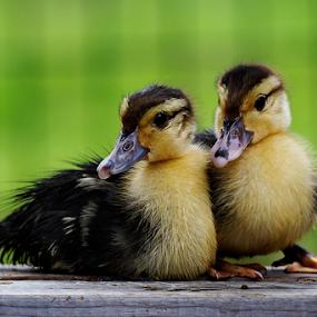 Duo by Marcelino Moningka - Animals Birds ( nature, duckling, duck, animal )