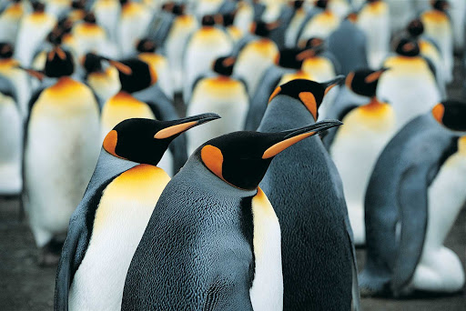 Silversea-Silver-Discoverer-king-penguins-2 - Visit distinctive-looking king penguins in the southern climes of New Zealand when you sail with Silver Discoverer.