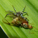 jumping spider & weaver ant (alate queen)