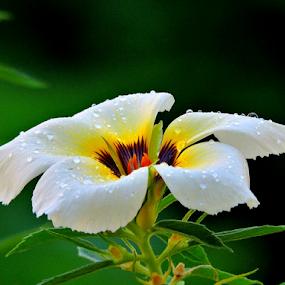 Turnera subulata by Yusop Sulaiman - Flowers Single Flower (  )