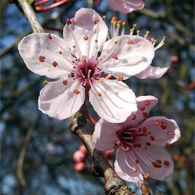 Pink Cherry-plum by Cliff Oakley - Flowers Flower Gardens ( countryside, flower.nature, cherry, wildlife, garden, spring, plum )