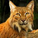 Eurasian Lynx - Nashville Zoo
