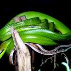 Red-tailed Green Ratsnake
