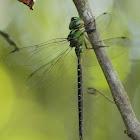 Regal Darner Dragonfly