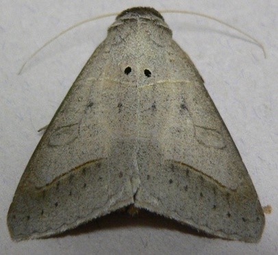 Withered Mocis Moth