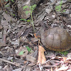 Three toed box turtle