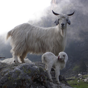 Pose Please by Shishir Desai - Animals Other Mammals ( goat )